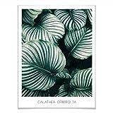 Poster Calathea Orbifolia Pflanze Zimmerpflanze tropisch