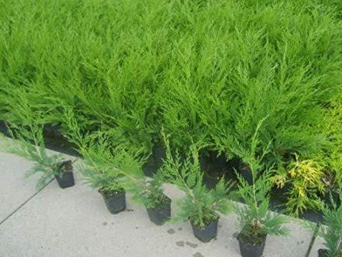 Bastardzypressen grün 50 Stück 30-40 cm leylandii T9x9 Hecken Pflanzware