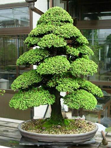 UEYR Cryptomeria Japonica - Cedro japonés, Sugi - Bonsai - 100 Semillas