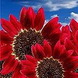 Semi, Catkoo 15 pezzi / 30 pezzi semi di girasole rosso semi di girasole annuale Decor organico Helianthus - 15pcs