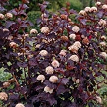 Crimson Diabolo Ninebark 2 Plants Shrub