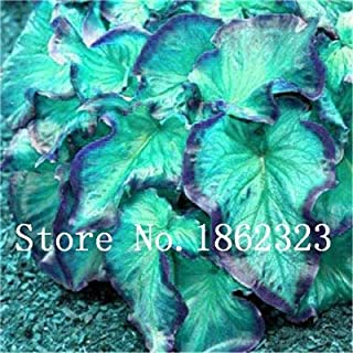 Chitrothu New 100 Pcs Caladium Leaf Plant Seeds Green Blue