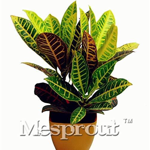 SANHOC Hohe Qualität Bonsai 100PCS Kroton Bonsai Pflanze Indoor/Outdoor-Topf Bonsai DIY HauptGardening! : Burgundy