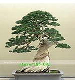 Green Seeds Co. 50 ginepro bonsai fiori in vaso ufficio bonsai purificare l'aria assorbire gas nocivi: nero