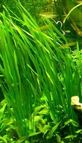 6 Bund – ca. 40 Aquariumpflanzen + Dünger, algenmindern, bunte Unterwasserwelt – Mühlan - 8