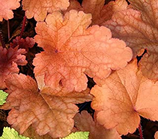 Heuchera Coral Bells Peach Flambe 10 seeds
