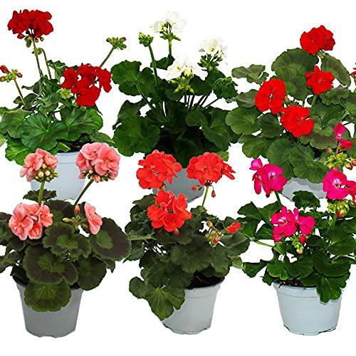 Geranien stehend - Pelargonium zonale - 12cm Topf - Set mit 6 Pflanzen - Farb-Mix