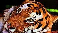 DIYペイントバイナンバーズ油絵キットカラートークキャンバス大人のための家の壁の装飾初心者-タイガーフェイスプレデタービッグキャット40×50cm(フレームレス)