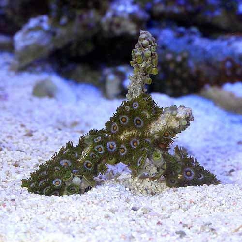 (海水魚 サンゴ)沖縄産 マメスナギンチャク ブランチ おまかせカラー SSサイズ(1個) 本州・四国限定[生体]