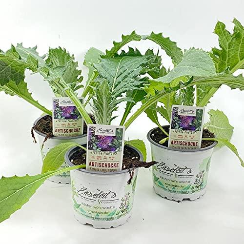 Artischocke 3er Set,frische Artischocken Pflanze,Pflanzen aus nachhaltigem Anbau