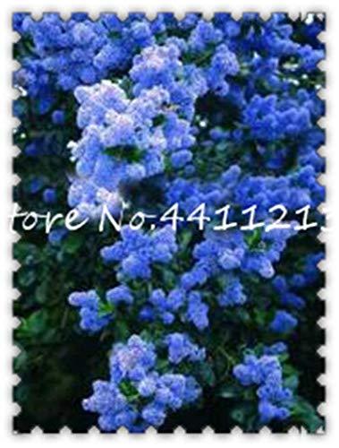 100Pcs Lila weißen Flieder Bonsai Lila Nelke Bonsai Blume Bonsai-Baum Bonsai Topfpflanze für Home Garten tropischer Gartendekoration: 11