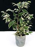 ficus benjamin variegato in vaso ceramica, pianta vera