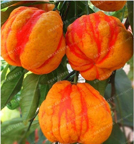 New Rare Lemon Tree rouge mix de 30 graines - Citrus × Limón