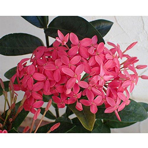 サンタンカ:チャームピンク5号鉢植え[夏の日差しが大好き!南国の花]