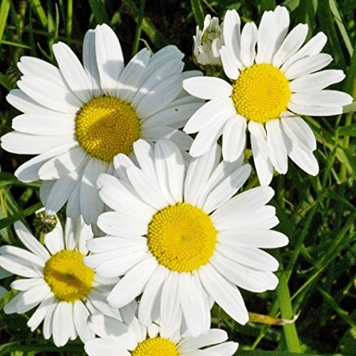 Non GMO Bulk Ox-Eye Daisy Seeds Chrysanthemum leucanthemum (1/4 Lb) 214,750 Seeds