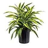 AMERICAN PLANT EXCHANGE Dracaena Lemon Lime Live Plant Indoor/Outdoor Air Purifier, 3 Gallon