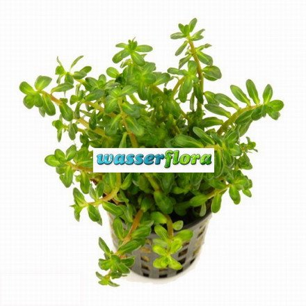 WFW wasserflora Bonsai Cognac Pflanze/Ammania sp. Bonsai (Ammannia)