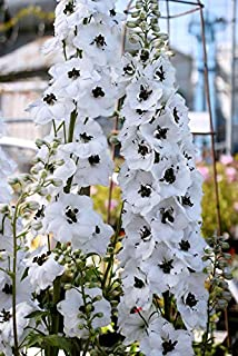 Cicitar Garden- 50pcs Rare Delphinium Seeds Pacific Giants Mixed White, Lilac and Blue Easy to Grow Garden, Exotic Flower Seeds Hardy Perennial