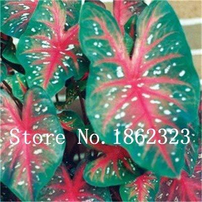 GEOPONICS SEEDS: Verkauf! 100 Stück Caladium Bonsai Caladium Blumen Bonsai Zimmerpflanzen Bonsai Colocasia Anlage für Hausgarten-Topfpflanze: 15