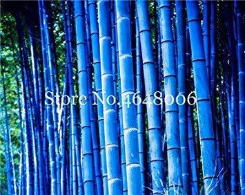 ! Große Förderung Chinese Frisch Rare Blue Bamboo Bonsai, perfekte Zier DIY Hausgarten Pflanze, Essbare Bambussprossen - 50 Stück: 11