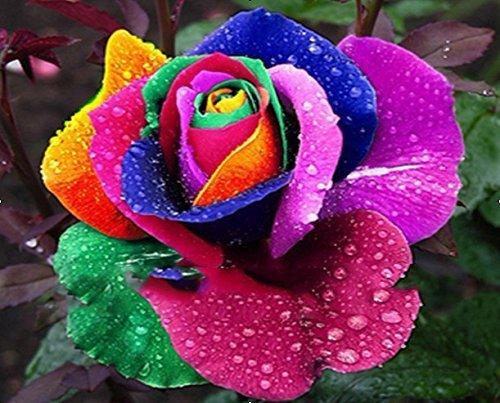 (Rose/Large * Ambizu *) NOUVEAU HOT 500 PCS Belle semences de fleurs Rainbow Rose Rose Graines par AMBIZU