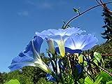 Asklepios-seeds® - 500 Semi di Ipomoea tricolor, Ipomea rubro-caerulea, Heavenly Blue, Campanella rampicante