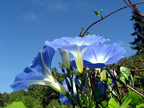 Asklepios-seeds® - 1000 Samen Ipomoea tricolor (violacea) Himmelblaue Prunkwinde
