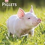Piglets - Ferkel Schweine 2020 - 16-Monatskalender: Original Brown Trout-Kalender [Mehrsprachig] [Kalender] (Wall-Kalender)