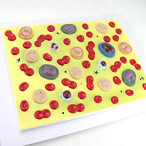 FHUILI Medizinischer Anatomische Blutkörperchen Modell - Vergrößerte in 2000X Blutzelle Modell - Human Anatomy Wissenschaft Modelle - für Studien Anzeige Teaching Medical Modell