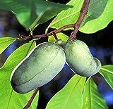 La pata de la pata del árbol - 5 Semillas - Asimina triloba - papaya