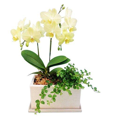 ミニ胡蝶蘭 ギフト パルテノ5.5号鉢 2本立 観葉寄せ イエロー お花 プレゼント お祝い 生花 鉢植え 開店祝い 父の日 敬老の日 おじいちゃん 贈り物