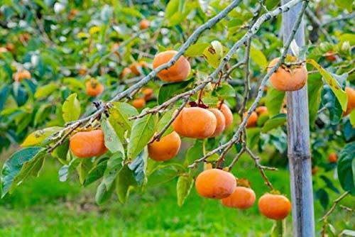 Zumari 5 semillas de árbol Diospyros Kaki