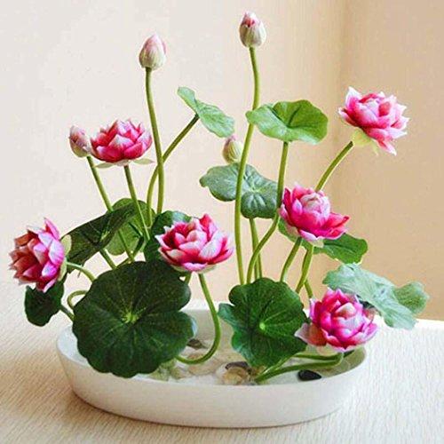 Tomasa Samenhaus- Mini Wasserlotus,Lotus Samen Hydroponischen Wasserpflanze Bonsai Lotus Saatgut mehrjährig Blumensamen Raritäten Zimmerpflanzen