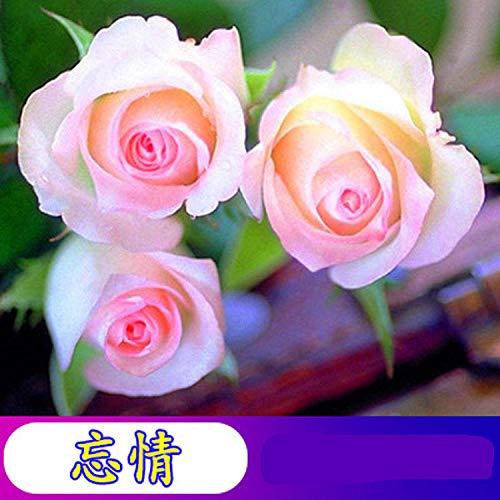 Aerlan Exotic Flower Seeds,Scented Flower Seeds,Rose flower seed flower pot flower seed-R_10 packs