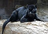 Lsping Puzzle 1000 pezzi Fondos de Pantalla Grandes felinos Pantera Negra animalia descargar imagenes 50x70cm