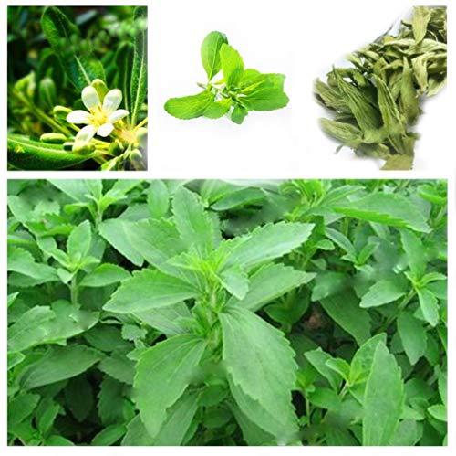 100pcs/bag Stevia Flores Seeds Stevia Herbs plantas Seeds Plant Plante Green...