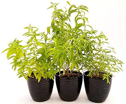Cymbopogon - Citronela en maceta crámica negra a rayas, 14 cm, 3 plantas, plantas reales