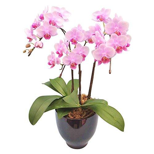 ミニ胡蝶蘭 ギフト 4.5号鉢 3本立 ピンク お花 プレゼント お祝い 生花 鉢植え 開店祝い 父の日 敬老の日 おじいちゃん おばあちゃん 贈り物