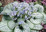 3 x Brunnera macrophylla 'Jack Frost' (Kaukasus Vergissmeinnicht)