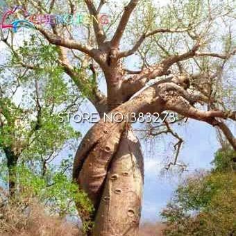 Homely Hot Item 10 unidades una bolsa 100% verdadera de alta calidad Baobab Bonsai raras plantas tropicales para jardín Panificadora Bonsai *: Cle