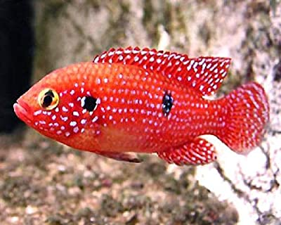 "Blood Jewel Cichlid 1-2"" Live Tropical Fish for Tank or Aquarium"