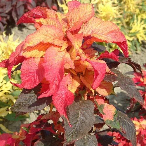 Amaranthus Bicolor Illumination Flower Seeds/Annual 75+ Seeds