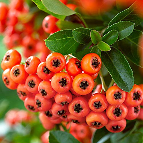 Keland Garten - Selten Feuerdorn 'Orange Glow' - Kletterpflanze Obstsamen Bio Saatgut Baumsamen winterhart mehrjährig, geeignet für Mauern und Zäune