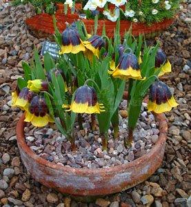 10 PC/bag Kaiserkrone Seeds 9 Farben Fritillaria Imperialis Samen Bodendecker Bonsai Blumensamen Blumentopf Hausgarten 2
