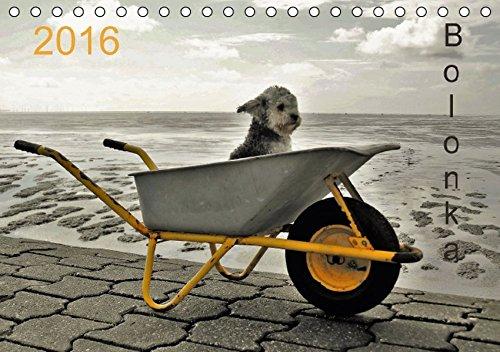 Bolonka 2016 (Tischkalender 2016 DIN A5 quer): Ein Wandkalender nicht nur für Bolonka - Liebhaber (Monatskalender, 14 Seiten ) (CALVENDO Tiere)