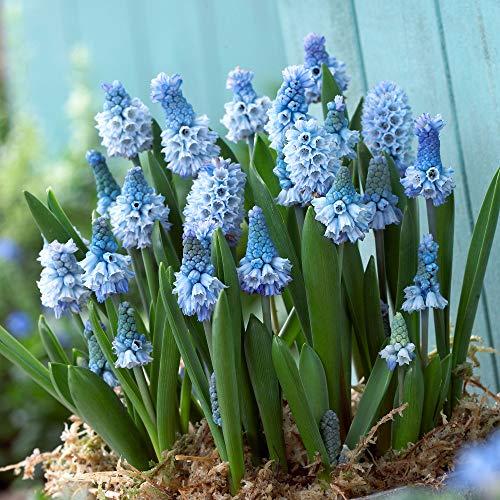 40x Muscari azureum | 40er Mix Traubenhyazinthen | Blaue Blüte | Blumenzwiebeln Mehrjährig Winterhart | Ø ca. 7cm