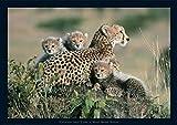 1art1 Raubkatzen - Geparden, Kenya Poster 91 x 61 cm