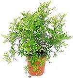 Lentisco - Pirata Lentiscus XXL, maceta de 20 cm, planta auténtica