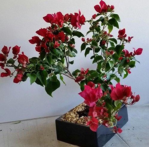 indoorbonsaiandexotics Bougainvillea bonsai tree in 8 inch pot (indoors)