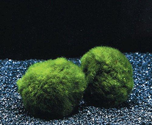 WFW wasserflora 3 Mooskugeln Größe M 3-4 cm/Aegagropila linnaei - Marimo Ball - Cladophora aegagropila - Biofilter für Garnelen-Aquarium